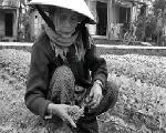 Nước mắt người trồng rau xứ Huế