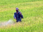 Dịch rầy nâu làm đau 8000 ha đồng ruộng Huế