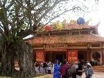 Cây Bồ đề 3 thân được vinh danh Cây di sản Việt Nam