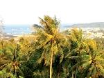 Chuyện cây dừa trên đảo Phú Quý