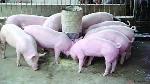 Kiểm tra chất cấm trong chăn nuôi tháng 8 năm 2016