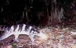 Huế: Phát hiện Cầy giông sọc được cho là bị tuyệt chủng