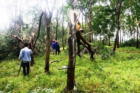 Nghiên cứu trồng cây cao su có sức chịu đựng với gió bão.