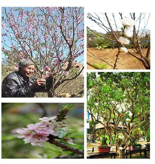 Hoa đào và bước đường đến với những mùa xuân phương Nam