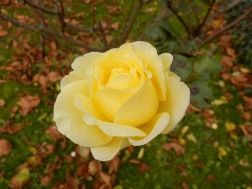 Tháng Chạp bông hồng vàng