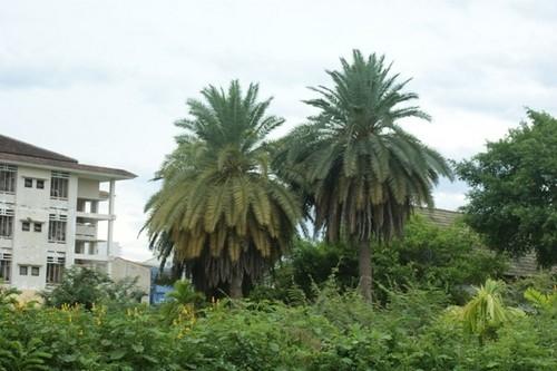 Thừa Thiên - Huế: 4 cây chà là cực hiếm có nguy cơ bị tuyệt chủng